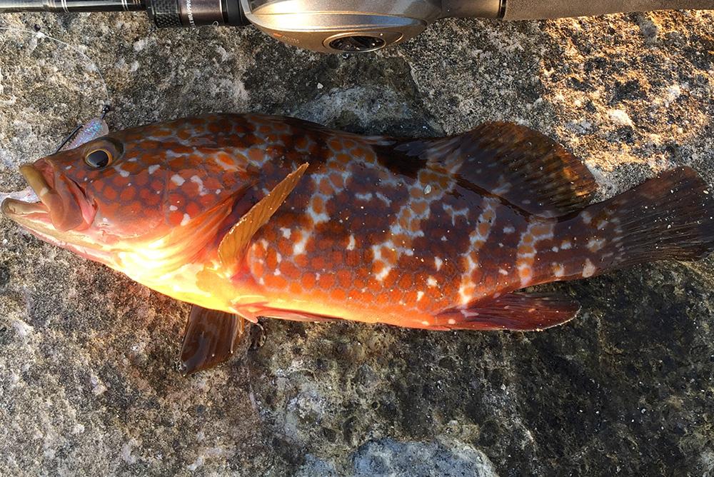 キジハタ(アコウ)西日本を中心に生息する人気No. 1ロックフィッシュの生態