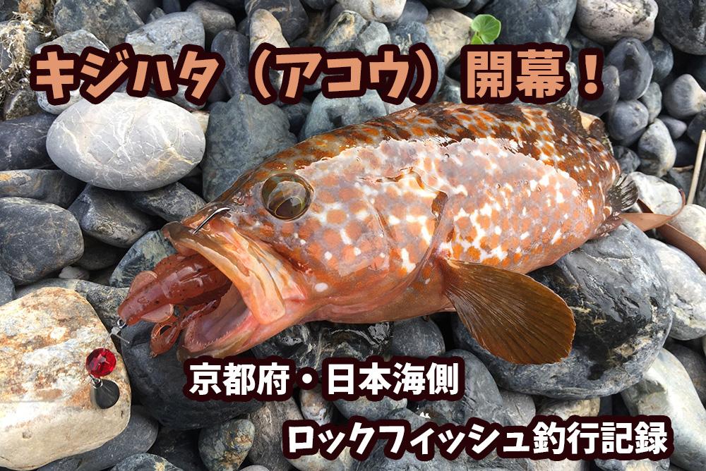 2017年キジハタ(アコウ)開幕!京都府・日本海側ロックフィッシュ釣行記録