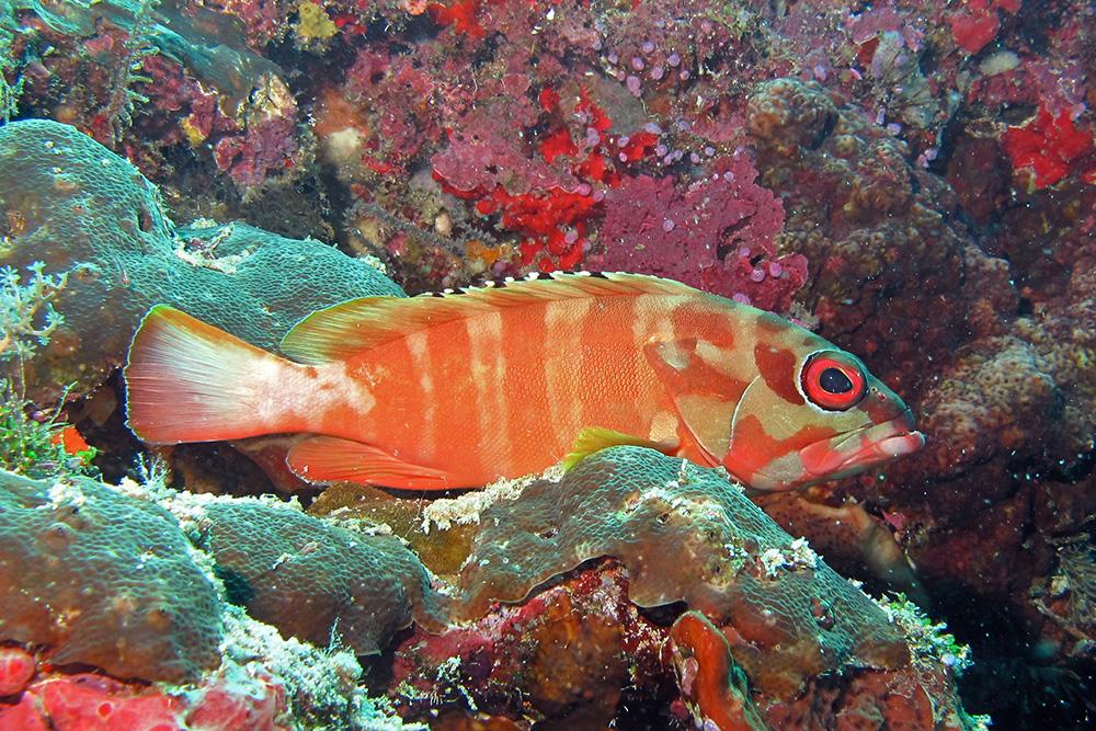 アカハタの生態 少し小型で甲殻類が大好き真っ赤なロックフィッシュ