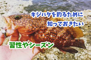 キジハタ(アコウ)を釣るために知っておきたい習性やシーズン(時期)