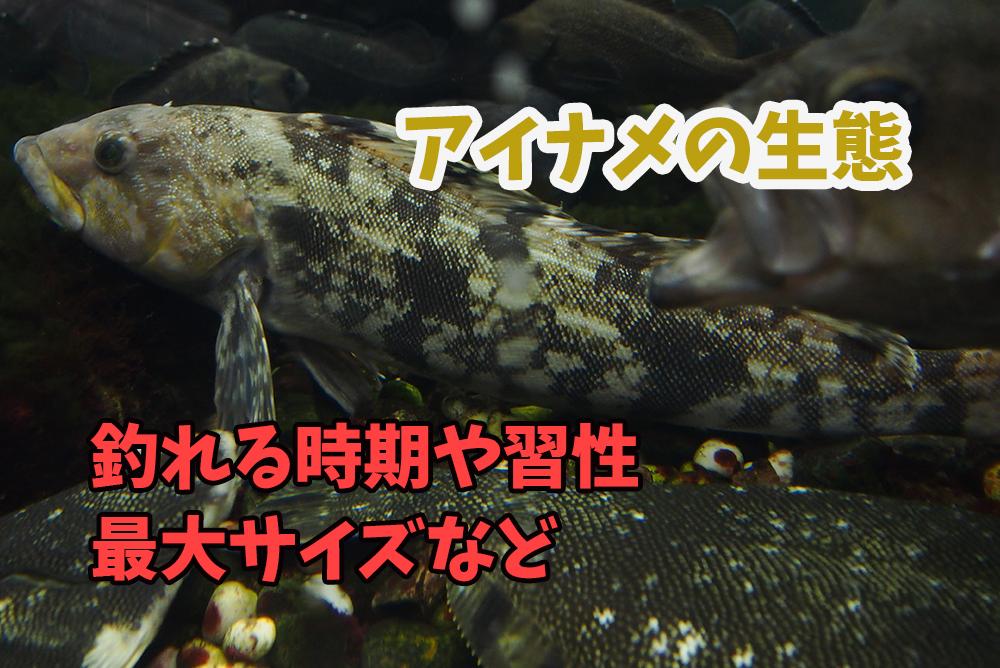 アイナメが釣れる時期や生態・習性・最大サイズなど『ロックフィッシュの王様』