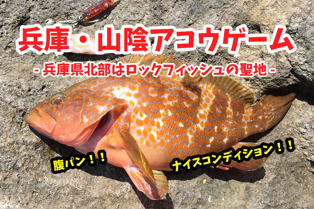 兵庫県(日本海側)キジハタ(アコウ)ゲーム!スイミングアクションでナイスコンディションがヒット