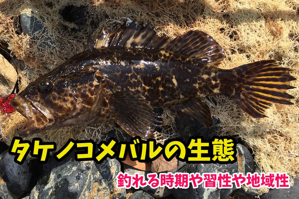 タケノコメバル(ベッコウゾイ)が釣れる時期や生態・習性・最大サイズなど『ロックフィッシュ界のイケメン』