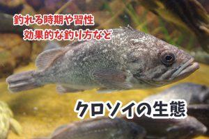 クロソイが釣れる時期や生態・習性・最大サイズなど『ロックフィッシュ界の黒い暴れん坊』