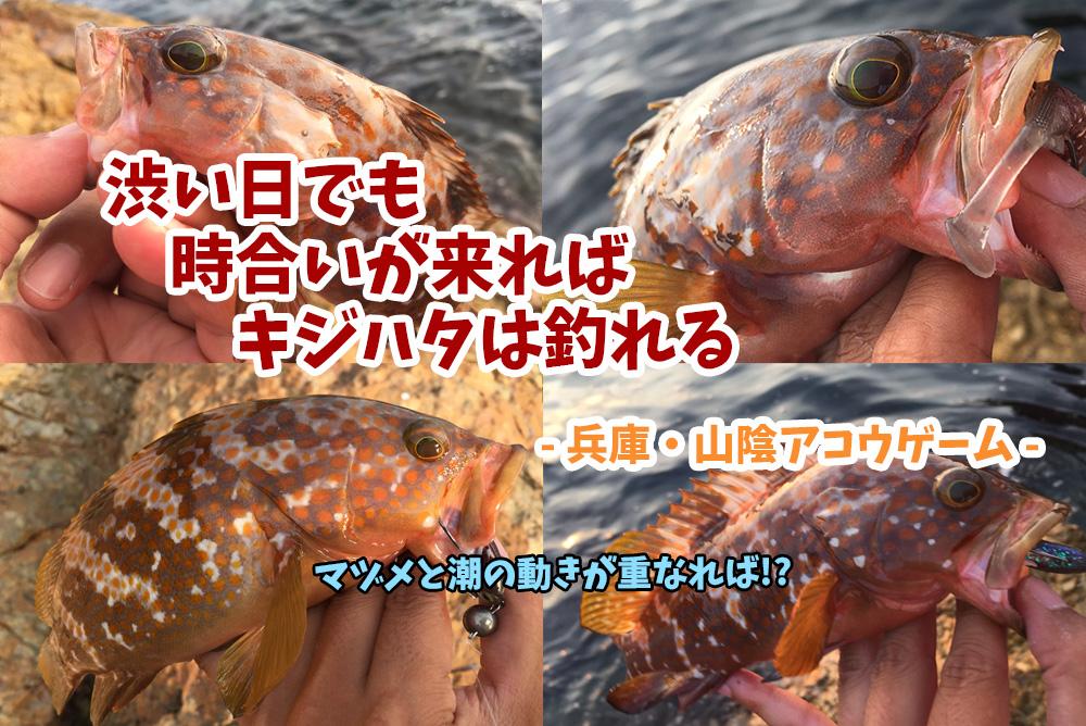 渋い日でも時合いが来ればキジハタ(アコウ)は釣れる!兵庫県日本海側ロックフィッシュゲーム