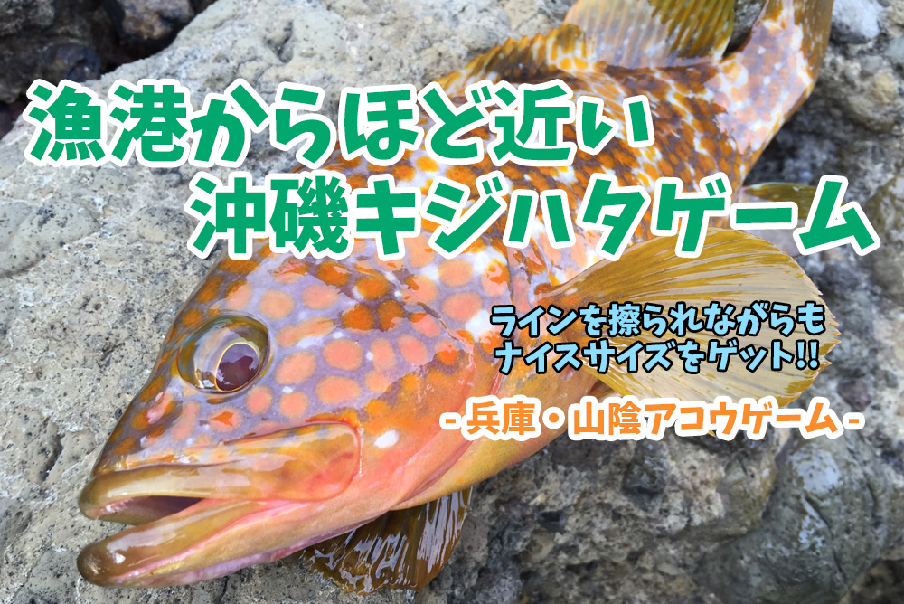 兵庫県北部・沖磯キジハタ(アコウ)ゲーム!朝マヅメからのロックフィッシュゲーム