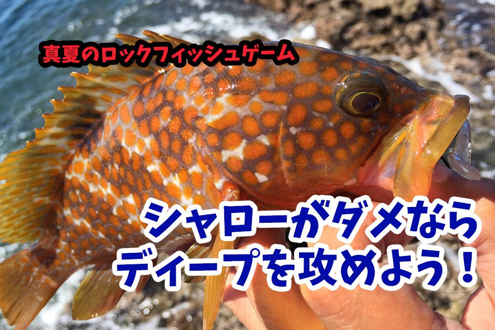 京都の地磯で真夏のキジハタ(アコウ)ゲーム!シャローがダメならディープを攻めよう